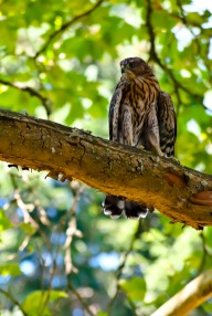 Young Falcon at Laurelhurst Park