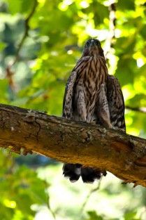 Young Falcon at Laurelhurst Park