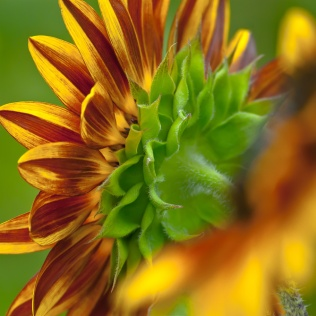 C. Vincent Ferguson - Behind Sunflower - Digital Image