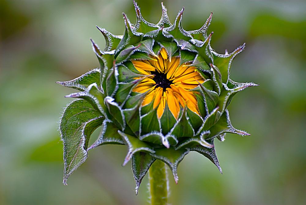 Free Sunflower Bud Stock Photo - FreeImages.com  |Sunflower Bud