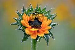 C. Vincent Ferguson - Sunflower Opens - Digital Image