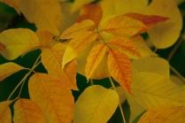 C. Vincent Ferguson - Autumn Ash Leaf Collage - Digital Image