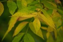 C. Vincent Ferguson - Autumn Ash Leaves - Digital Image