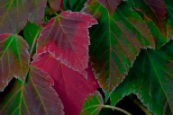 C. Vincent Ferguson - Autumn Red Maple Leaves - Digital Image