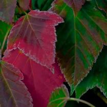 C. Vincent Ferguson - Autumn Red Maple Leaves - Digital Image