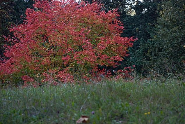 C. Vincent Ferguson - Autumn Sugar Maple Tree - Digital Image