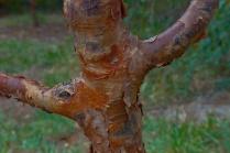 C. Vincent Ferguson - Paperbark Maple Tree - Digital Image