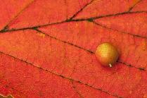 C. Vincent Ferguson - Berry Orange Leaf - Digital Image