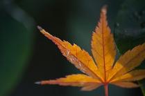 Golden Sunlit Leaf