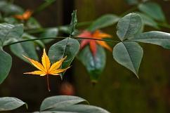 Heavenly Maple Leaf