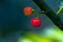 C. Vincent Ferguson - Two Holly Berries - Digital Image