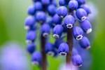 C. Vincent Ferguson - Grape Hyacinth Bluebell - Digital Image