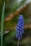 C. Vincent Ferguson - Grape Hyacinth - Digital Image