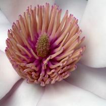 C Vincent Ferguson - Magnolia Opens - Digital Image