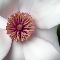 C Vincent Ferguson - Magnolia Round - Digital Image