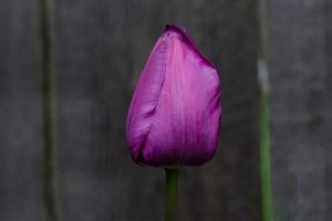 C Vincent Ferguson - Purple Easter Tulip - Digital Image