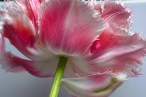C Vincent Ferguson - Under the Queensland Tulip - Digital Image