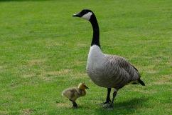 C Vincent Ferguson - Goose and Gosling - Digital Image