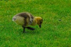 C Vincent Ferguson - Grassy Gosling - Digital Image