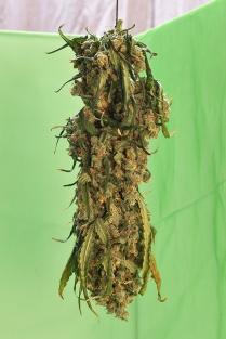 C Vincent Ferguson - Jack Frost Bud Day 2 - Digital Image