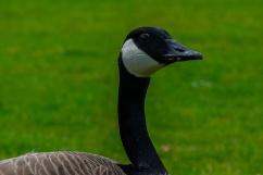 C Vincent Ferguson - Mother Goose - Digital Image