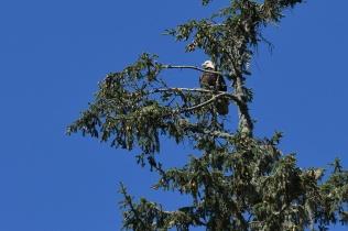 C Vincent Ferguson - Bald Eagle in Tree - Digital Image