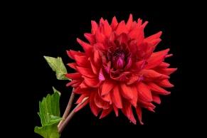C Vincent Ferguson - American Beauty Dahlia Flat - Digital Image