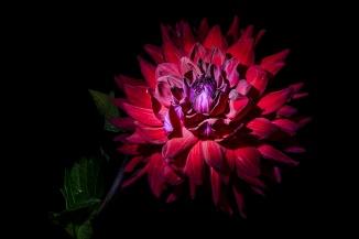 C Vincent Ferguson - American Beauty Dahlia - Digital Image