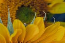 C Vincent Ferguson - Sunflower Waterdrop - Digital Image