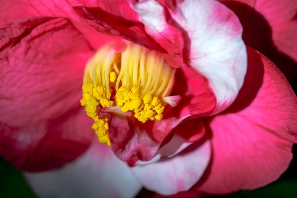 Camellia Japonica Mikenjaku