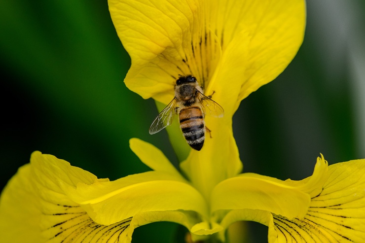 Yellow Iris Bee