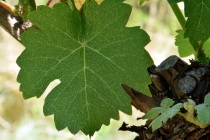 Grape leaf hangs nearby the trunk on grapevine