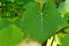 A solitary green grape leaf in the vine hangs in focus