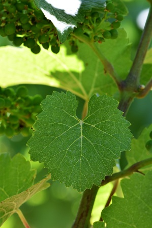 A solitary green grape leaf hangs in focus on the vine with tiny grapes