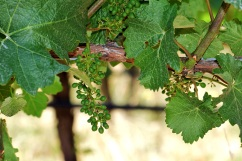 Tiny grapelet clusters hang from the vine in the Vineyard