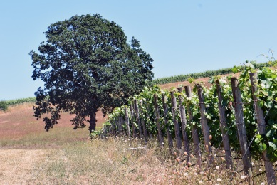Giant Oak Tree lines with the end posts of a vineyard in a field.
