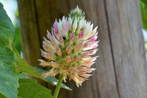 Pink and white florets, Clover flower against wooden post in Vineyard