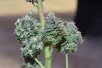 Black Hulk Cannabis Bud with Snowman Cannabis Bud